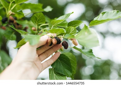 Fresh mulberry, black ripe and red unripe mulberries on the branch of tree. Healthy berry fruit.black ripe and red unripe mulberries on the branch