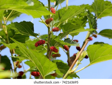 Fresh mulberry on tree. Berry fruit in nature
