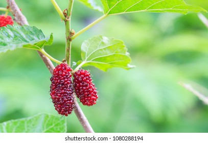 Fresh mulberry,red unripe mulberries on the branch of tree.