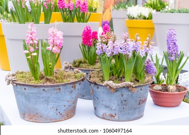 Fresh multicolors of hyacinth spring flower growing in vintage metal pot with green branch, leaves this flower smell good with background yellow pot in cover garden. Symbol of love and romantic.