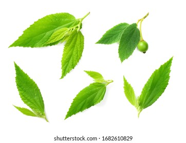 fresh Muntingia calabura leaves isolated on the white background, top view