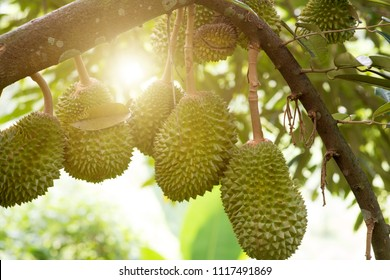 Fresh musang king durian on tree in orchard, tropical fruit.