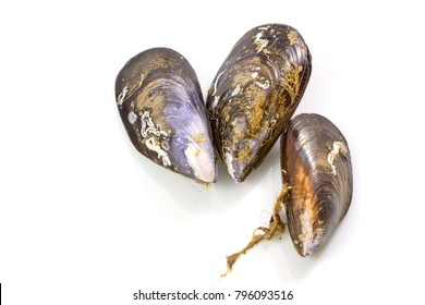 Fresh mussel on white background, Isolated mussels.