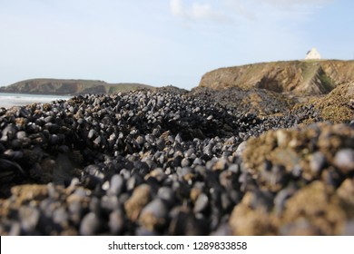 Fresh mussels formation on a rock on the beach at the Atlantic ocean at the low tide.