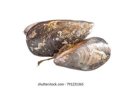 Fresh mussels, seafood isolated on a white background.
