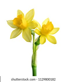 Fresh narcissus isolated on white background