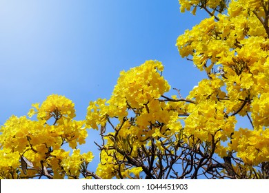 Yellow trees images stock photos vectors shutterstock fresh natural flower in bright daybeautiful yellow flower in the garden silver trumpet tree mightylinksfo