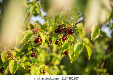 Fresh and natural fruits. - Shutterstock ID 1184381287
