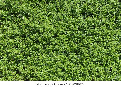 fresh natural green leaves wall hedge background texture in sunlight during the day in different distances