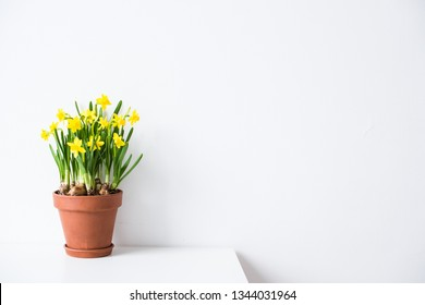 Fresh natural yellow daffodils in ceramic pot on white table near empty wall