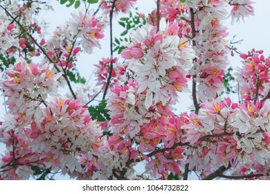 "Fresh Nature soft focus of ""Pink cassia"" Cassia bakeriana Craib,Showing colorful large bouquet on high tree,white deep pink. long flower stalk fully bloom over tree on summer season,Vintage Style."