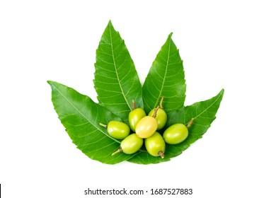 Fresh Neem fruit on neem green leaf isolated on white background.
