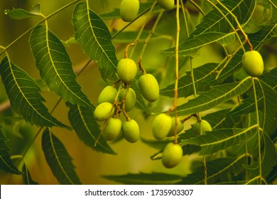 Fresh Neem fruit on tree with leaf on nature background. A leaves of neem tree and fruits growing natural medicinal. Azadirachta indica,neem, nimtree or Indian lilac,mahogany family Meliaceae