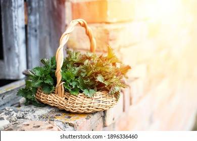Fresh nettles. Basket with freshly harvested nettle plant. Urtica dioica, often called common nettle, stinging nettle, or nettle leaf. first spring vitamins. Ingredient of vitamin salad.