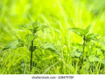Fresh nettles in different shades of green grass