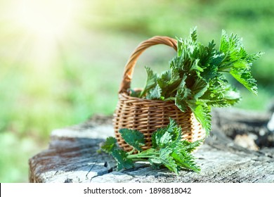 Fresh nettles on stump in woods. Basket with freshly harvested nettle plant. Urtica dioica, often called common nettle, stinging nettle, or nettle leaf. first spring vitamins.
