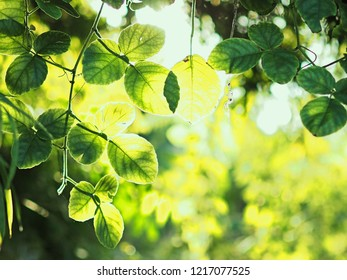 fresh new green leaves glowing with sunlight in nature