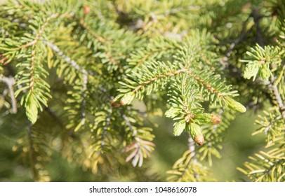 Fresh new growth on a spruce tree