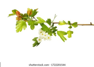Fresh new hawthorn foliage and blossom isolated against white
