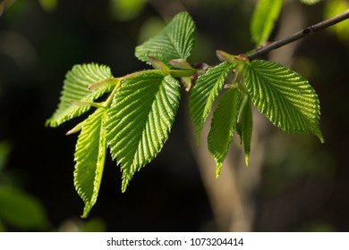 Fresh new Hornbeam leaves, Carpinus betulus buds opening