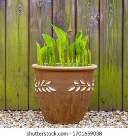 Fresh new Hosta shoots in a decorated pot against a weathered wooden background