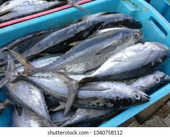 Fresh new mackarel tuna just arrived in the market.