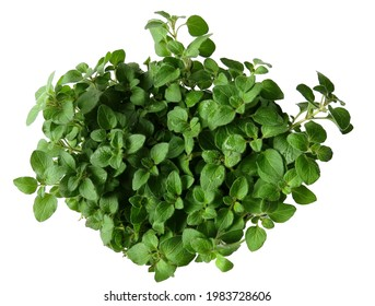 Fresh new oregano plant on white background with dew on the leaves