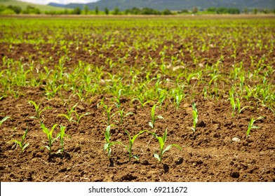 Fresh new sprouts of corn grow in endless fields