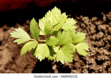 fresh new young garden lovage
