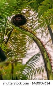 Fresh New Zealand Punga Fern Frond – Koru Symbol in forest of Rangitoto Island
