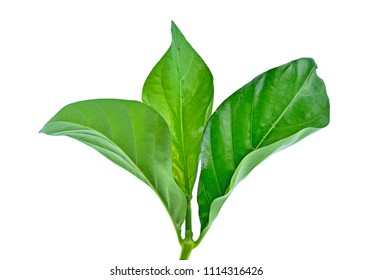fresh noni leaves isolated on white background