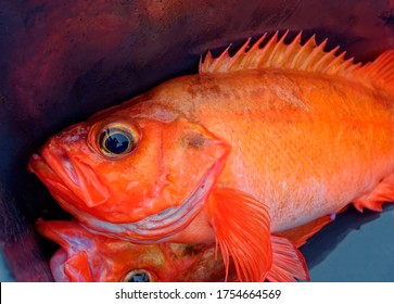 Fresh ocean perch (Atlantic redfish)  in fisherman`s plastic box.