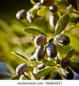 Fresh olives growing on the tree. Selective Focus on Tuscan Olives, Italy