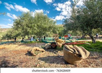 Fresh olives harvesting from agriculturists in a field of olive trees in Crete, Greece for extra virgin olive oil production.
