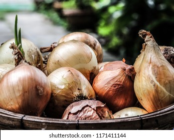 Fresh onions. Onions background. Ripe onions. Onions in market, arge onion harvest in a wicker basket. Bulb onion is rich in vitamins, useful spring.