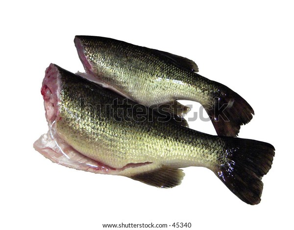 Fresh Ontario Bass ready for the frying pan