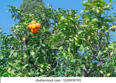 Fresh orange citrus tree. Fruit plant with green leaves