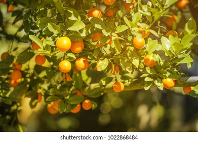 fresh orange orchard in winter season, farm at the  northern in thailand