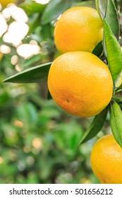 Fresh oranges grow on the tree
