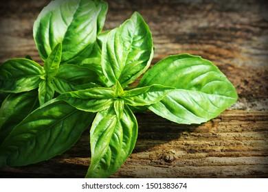 Fresh organic basil leaves on dark,old wooden background .