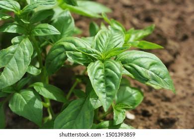 Fresh organic basil plant growing in garden .