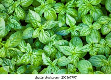 Fresh organic basilic leaves.