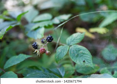 Fresh Organic Berries of the forest, Black and Red Berries