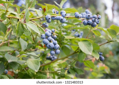 Fresh organic blueberries on the bush. Vaccinium corymbosum, high huckleberry bush. Blue ripe fruit on the healthy green plant. Food plantation - blueberry field, orchard.