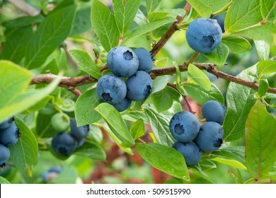 Fresh Organic Blueberries on the bush. close up