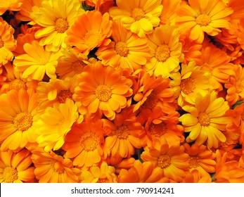 Fresh organic calendula marigold flowers background.