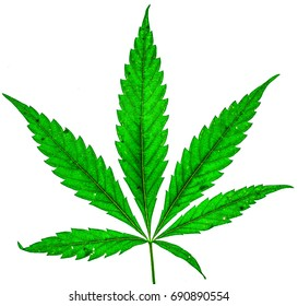 Fresh organic cannabis green leaf with five fingers and one more small isolate. Single marijuana plant on white background. Be happy with marijuana