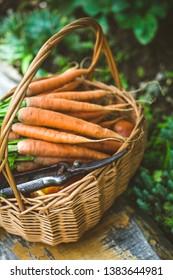 Fresh Organic carrots in basket