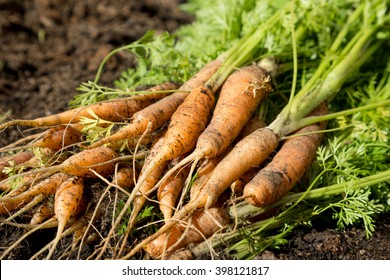 Fresh organic carrots recently removed from their earthly bed.