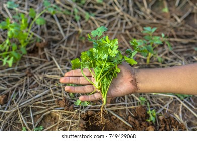 fresh organic coriander or cilantro bunch on hand holding as concept of cultivation